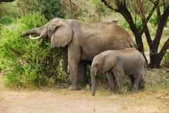 Familie des Elefanten stockfotos
