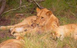 Familie des Löwes (Panthera Löwe) im wilden Stockfotografie