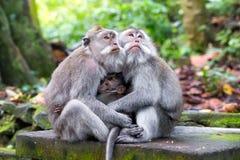 Familie des langschwänzigen Makakens (Macaca fascicularis) in heiligem MO Lizenzfreie Stockbilder