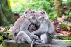 Familie des langschwänzigen Makakens (Macaca fascicularis) in heiligem MO Stockbilder