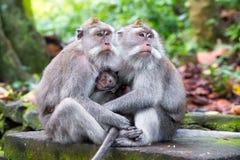 Familie des langschwänzigen Makakens (Macaca fascicularis) in heiligem MO Stockbild