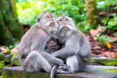 Familie des langschwänzigen Makakens (Macaca fascicularis) in heiligem MO Stockfotos