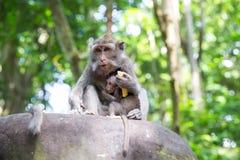 Familie des langschwänzigen Makakens (Macaca fascicularis) in heiligem MO Lizenzfreie Stockfotos