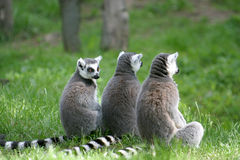 Familie des Ring-tailed Lemur Stockbilder