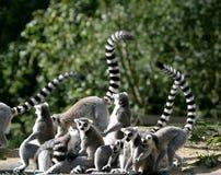 Familie des Ring-tailed Lemur Stockfoto