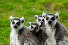Familie des Ring-tailed Lemur Lizenzfreies Stockbild
