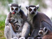 Familie des Ring-tailed Lemur mit gerade geborenem Schätzchen Lizenzfreie Stockfotos