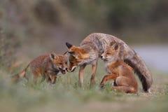 Familie des roten Fuchses Stockfotos