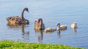 Familie des schwarzen Schwans stockbild