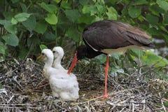 Familie des schwarzen Storchs Lizenzfreies Stockbild