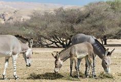 Familie des somalischen wilden Esels in israelischer Natur Reserve-Haistange Lizenzfreie Stockfotos