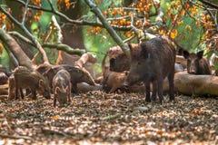 Familie des wilden Ebers durch Baum Stockfotografie