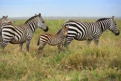 Familie des Zebras stockbild