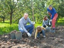 Familie, die Kartoffeln im Garten erntet Lizenzfreie Stockfotografie