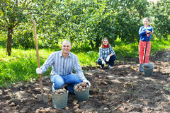 Familie, die Kartoffeln im Garten erntet Lizenzfreie Stockbilder
