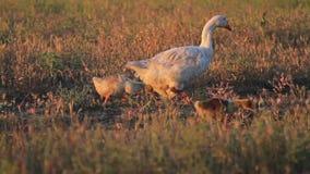 Familie die van ganzen op het gebied lopen stock video