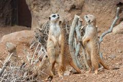 Familie die van Meerkats waakzaam in het woestijnmilieu bevinden zich stock afbeeldingen