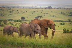 Familie die van olifanten door de savanne, M loopt Stock Foto