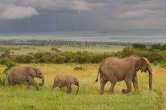Familie die van olifanten door de savanne, M loopt Royalty-vrije Stock Afbeeldingen
