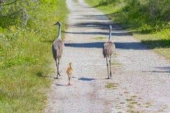 Familie die van Sandhill-Kranen langs een Ongeplaveide Weg lopen stock fotografie