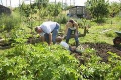Familie, die zusammen im Gemeinschaftsgarten im Garten arbeitet Stockbild
