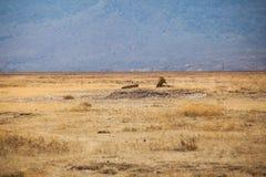 Familie Lion Pantheras Löwe stockfoto
