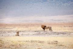 Familie Lion Pantheras Löwe stockfotografie