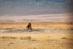 Familie Lion Pantheras Löwe stockbild