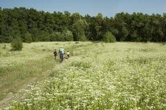 Familie met kinderen die fietsen binnen ver op een gebied van witte bloemen in de lente, de zomer berijden Gang op fietsen in ope royalty-vrije stock afbeeldingen