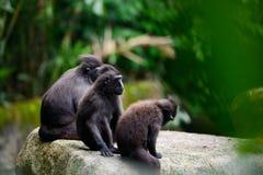 Familie schwarzen Makakens des mit Haube Lizenzfreie Stockfotografie