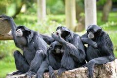 Familie Siamang Gibbon, die auf Baumstumpf sich entspannt Lizenzfreie Stockfotografie