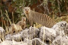 Familie suricate Stockfotografie