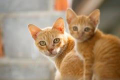 Familie Thaise kat Stock Afbeelding