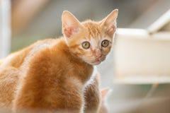 Familie Thaise kat Stock Foto's