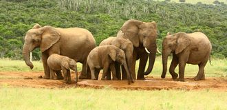 Familie van Afrikaanse olifanten, Zuid-Afrika Stock Foto
