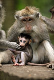 Familie van apen Royalty-vrije Stock Foto's