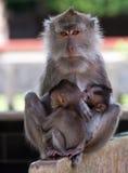 Familie van apen. Stock Foto's