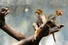 Familie van apen in de bomen Royalty-vrije Stock Afbeeldingen