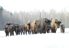 Familie van bizons in de winter Stock Afbeeldingen