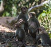 Familie van Bonnet macaque in zonlicht en schaduwen - Macaca-radiata stock fotografie