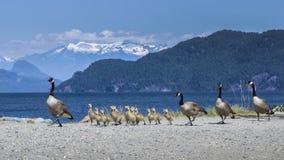 Familie van Canadese ganzen Royalty-vrije Stock Foto
