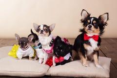 Familie van chihuahuahonden op hoofdkussens Royalty-vrije Stock Fotografie