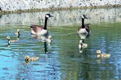 Familie van de ganzen van Canada stock afbeelding