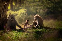 Familie van drie bavianen dichtbij de boom royalty-vrije stock afbeelding