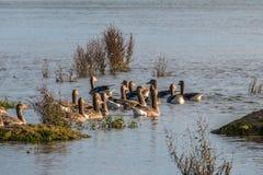 Familie van eenden in natuurreservaat, was, het vliegen en het zwemmen Stock Afbeeldingen