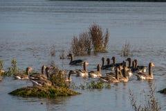 Familie van eenden in natuurreservaat, was, het vliegen en het zwemmen Royalty-vrije Stock Afbeelding