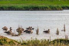 Familie van eenden in natuurreservaat, was, het vliegen en het zwemmen Royalty-vrije Stock Foto's