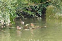 Familie van eenden in natuurreservaat, was, het vliegen en het zwemmen Stock Fotografie