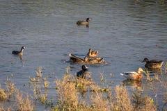 Familie van eenden in natuurreservaat, was, het vliegen en het zwemmen Royalty-vrije Stock Foto