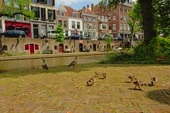 Familie van Egyptische ganzen op de kaden van het kanaal van ` oudegracht ` in Utrecht Royalty-vrije Stock Afbeelding